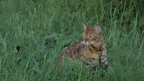 Bengal cat walks in the grass. He shows different emotions. Ears on the vertex, pointing forward: the cat is in a good mood, ready for the game Royalty Free Stock Photography