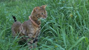 Bengal cat walks in the grass. He shows different emotions. Ears on the vertex, pointing forward: the cat is in a good mood, ready for the game Stock Photos