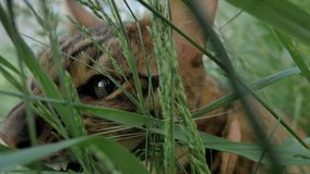 Bengal cat walks in the grass. He shows different emotions. The view of the animal is very close to the grass. This cat eats weed Royalty Free Stock Images