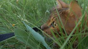 Bengal cat walks in the grass. He shows different emotions. The view of the animal is very close to the grass Royalty Free Stock Photography