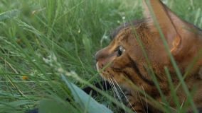 Bengal cat walks in the grass. He shows different emotions. The view of the animal is very close to the grass Stock Photos