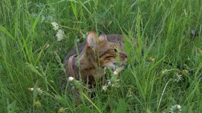 Bengal cat walks in the grass. He shows different emotions. This cat eats weed. Walk lifestyle Stock Photos