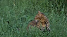 Bengal cat walks in the grass. He shows different emotions. The cat looks away. Ears on the vertex, pointing forward. The cat is in a good mood, ready for the Stock Photos
