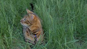Bengal cat walks in the grass. He shows different emotions. The cat looks away. Ears on the vertex, pointing forward. The cat is in a good mood, ready for the Royalty Free Stock Images