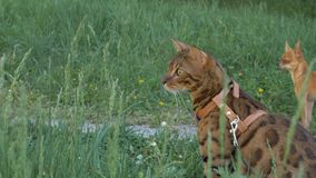 Bengal cat walks in the grass. He shows different emotions. The cat looks away. Ears on the vertex, pointing forward. The cat is in a good mood, ready for the Stock Photo