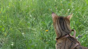 Bengal cat walks in the grass. He shows different emotions. The cat turned away from us, the back view. Walk lifestyle Royalty Free Stock Photos