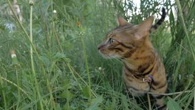Bengal cat walks in the grass. He shows different emotions. The ears are lowered and set back: an offensive posture, anger, fear, anxiety, restless and anxious stock image