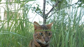 Bengal cat walks in the grass. He shows different emotions. Cat in perplexity. He`s thinking about something for a long time. Looks like a stupid cat stock photos