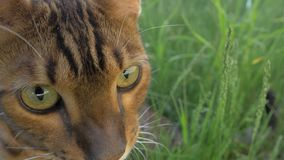 Bengal cat walks in the grass. He shows different emotions. Cat in perplexity. He`s thinking about something for a long time. Looks like a stupid cat royalty free stock photos
