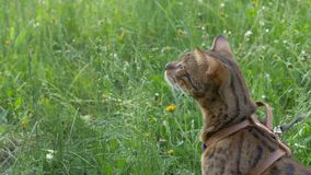 Bengal cat walks in the grass. He shows different emotions. Predator tracks down prey. He follows her with interest. Ears on the vertex, pointing forward: the Royalty Free Stock Photography