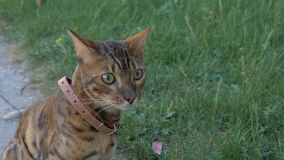 Bengal cat walks in the grass. He shows different emotions. The cat is in shock. His something is very alert or surprised. Bewilderment is seen on his face royalty free stock photo