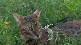 Bengal cat walks in the grass. He shows different emotions. The cat is in shock. His something is very alert or. Surprised. Bewilderment is seen on his face Royalty Free Stock Images
