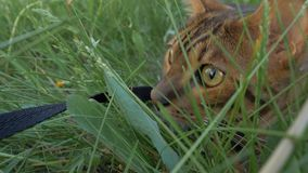 Bengal cat walks in the grass. He shows different emotions. The view of the animal is very close to the grass. Walk lifestyle Royalty Free Stock Images