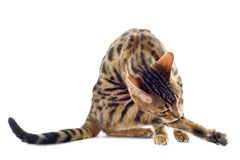Bengal cat washing Royalty Free Stock Photos