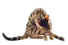 Bengal cat washing Royalty Free Stock Photos