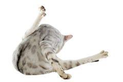 Bengal cat washing Royalty Free Stock Photo