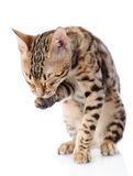 Bengal Cat washing itself. Royalty Free Stock Images