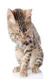 Bengal Cat washing itself. Stock Image