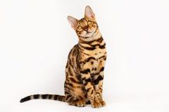 Bengal Cat Royalty Free Stock Photo