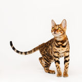 Bengal Cat. On white background Royalty Free Stock Images
