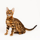 Bengal Cat Royalty Free Stock Photos