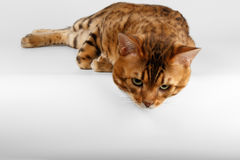 Bengal Cat on White background and Looking down Stock Photo