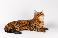 Bengal Cat on White background and Looking up Royalty Free Stock Photo