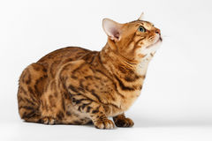 Bengal Cat on White background and Looking up Royalty Free Stock Image
