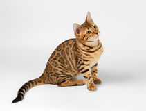 Bengal Cat on White background and Looking up Stock Photos