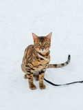Bengal cat on winter background. Royalty Free Stock Photography