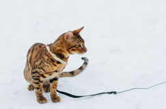 Bengal cat on winter background. Stock Photography