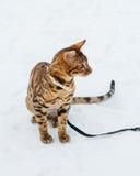 Bengal cat on winter background. Stock Photos