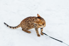 Bengal cat on winter background. Stock Image