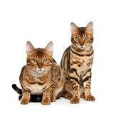 Bengal cats. On white background Royalty Free Stock Photos