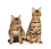 Bengal cats. Family on white background Stock Photo
