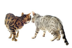 Bengal cats Royalty Free Stock Images