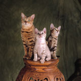 3 bengal cats Royalty Free Stock Images