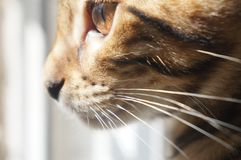 Bengal cats face with huge brown eye royalty free stock photos