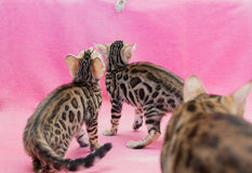 Bengal cats. Bengal leopard cats on a pink background Royalty Free Stock Images