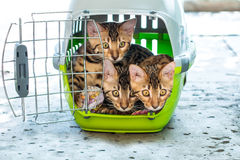Bengal cats in pet carrier Royalty Free Stock Photography