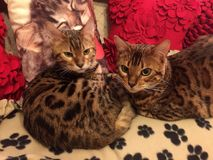 Bengal cats on a sofa. 2 Bengal cats sitting on a Sofa Stock Images