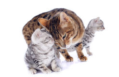 Bengal cats and tenderness Stock Image