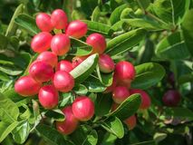 Bengal Currant Stock Photography