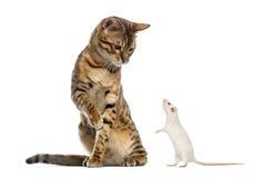 Bengal, der unten schaut und an einer Ratte pawing Lizenzfreie Stockbilder