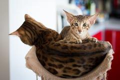 Bengal e gatinho oriental que colocam junto Fotografia de Stock
