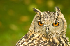 Bengal Eagle Owl Royalty Free Stock Photo