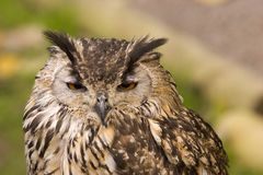 Bengal Eagle Owl. A close up shot of a Bengal Eagle Owl Stock Photography