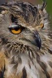 Bengal Eagle Owl Stock Photo