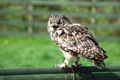 Bengal eagle owl Stock Images