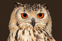 Bengal Eagle Owl Royalty Free Stock Photography